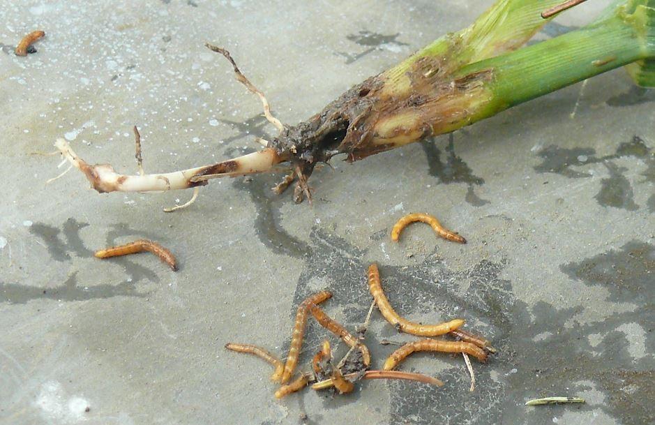 diftillobothriasis átvitel paraziták elleni gyógynövény gyűjtő forrás