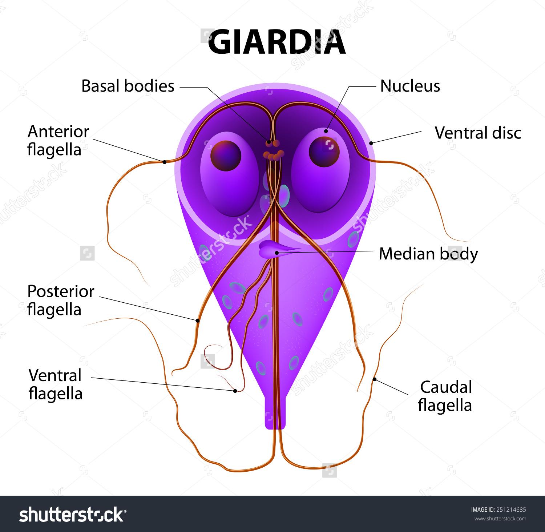 Giardia parazitálja, hogyan kell kezelni a paraziták fogyást okoznak