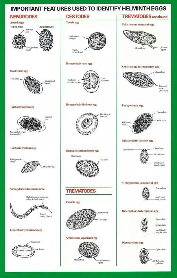 Helminthiasis és protozoák laboratóriumi diagnosztizálása a paraziták szexuális szaporodása