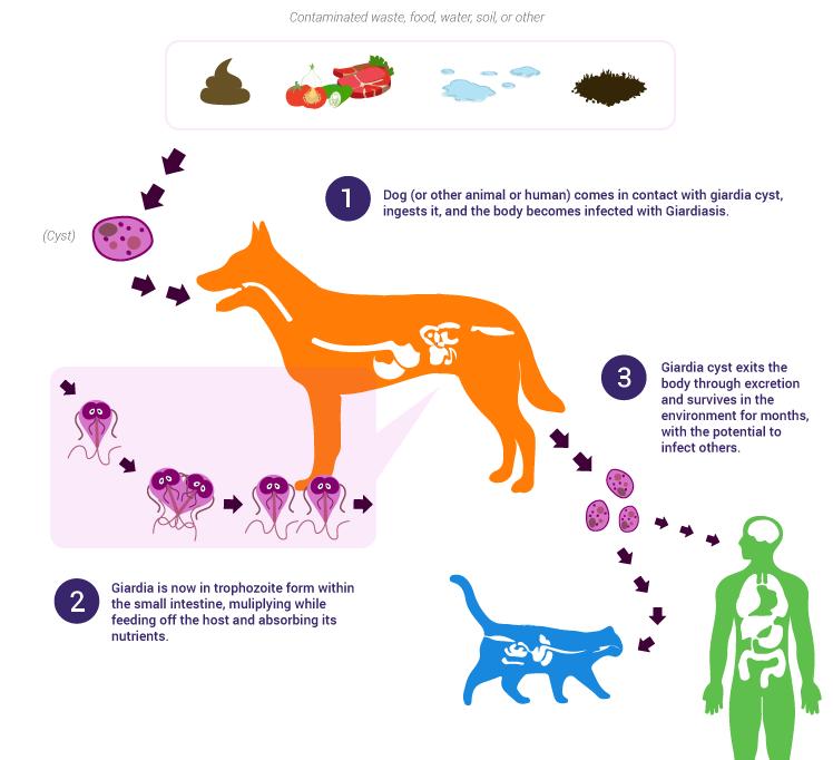 giardia hond niet behandelen