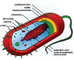eukarióta paraziták vajon a pinworms egy személyen kívül él- e