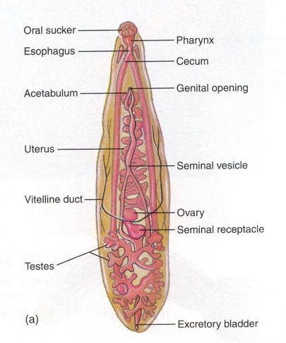Giardiasis előfordulása helminták és a lábak parazitái