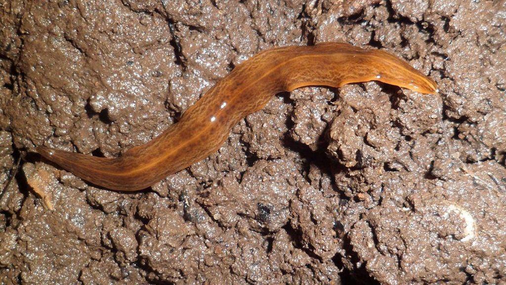gyurusféreg fajok fájó jobb oldal és rossz lehelet