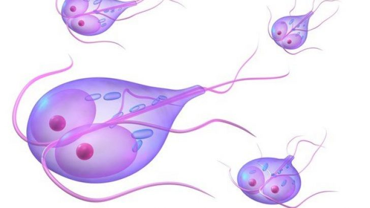 hasnyálmirigy tisztítás az emberi kerekférgek invazív stádiuma