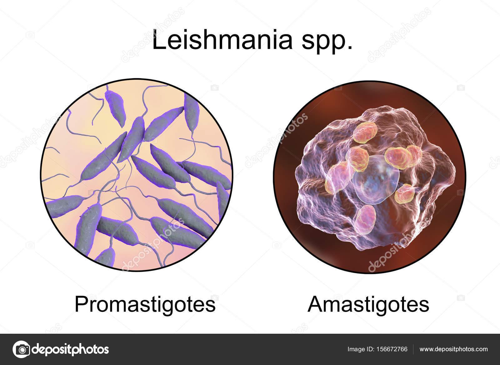 leishmania paraziták tabletták férgek kaniverm