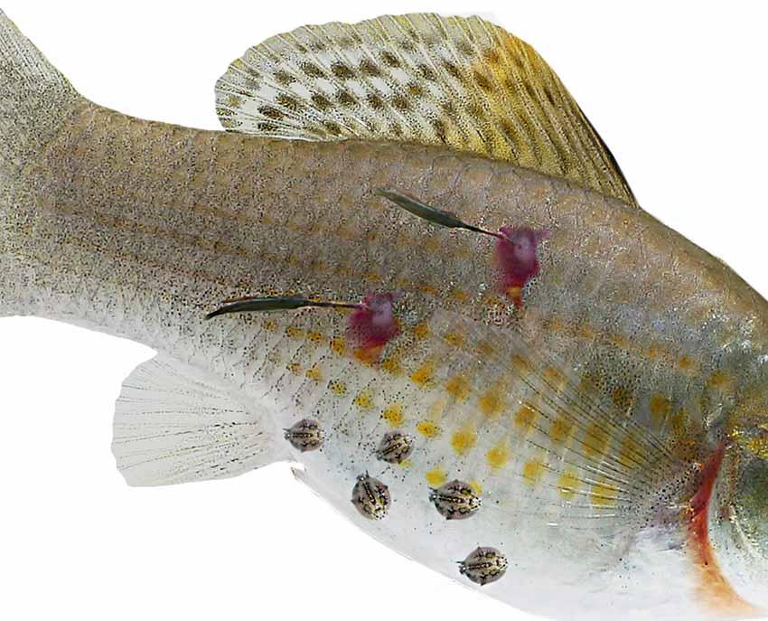 miért vannak halak férgek