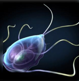 típusú paraziták az emberi testben férgek a csincsilla kezelés során