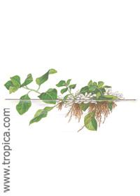 ludwigia helminthorrhiza új generációs antihelminthikus gyógyszerek