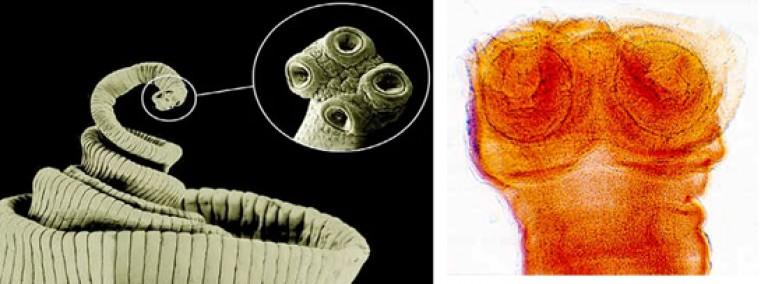 bika szalagféreg él Ascaris tenyésztési ciklus