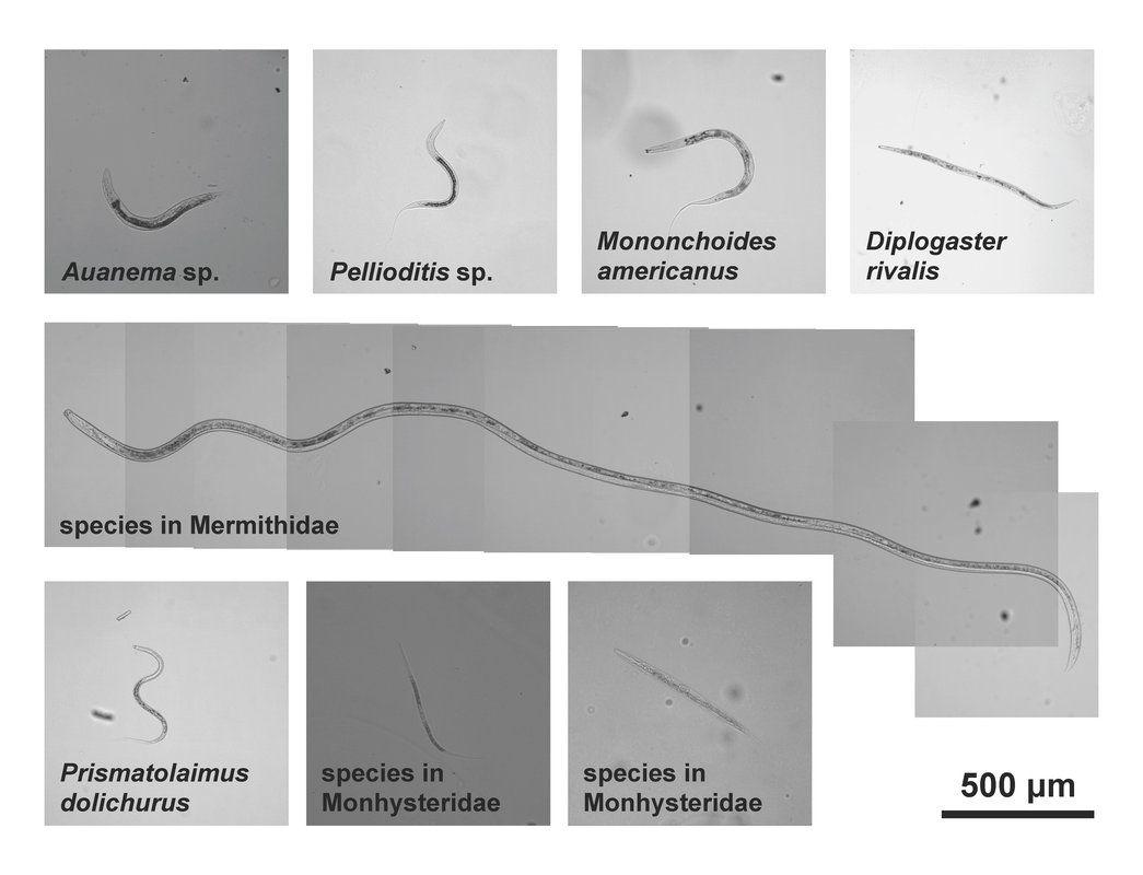 a galandférgek fő jelei paraziták kezelése az emberi májtablettákban