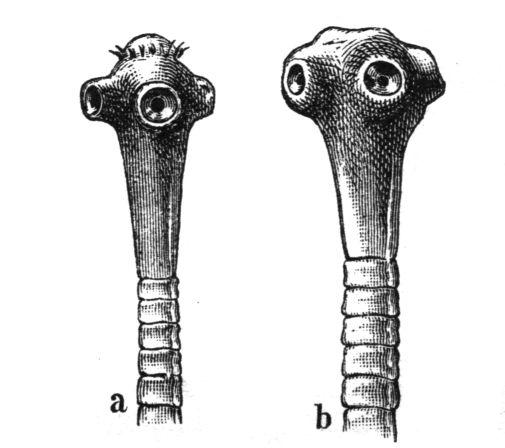 Diphyllobothriasis etiológiája, Diphyllobothrium latum infestatio