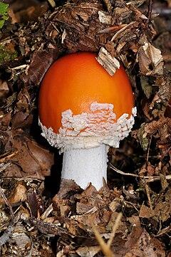 gyógyszer a rókagomba gombákra a paraziták számára