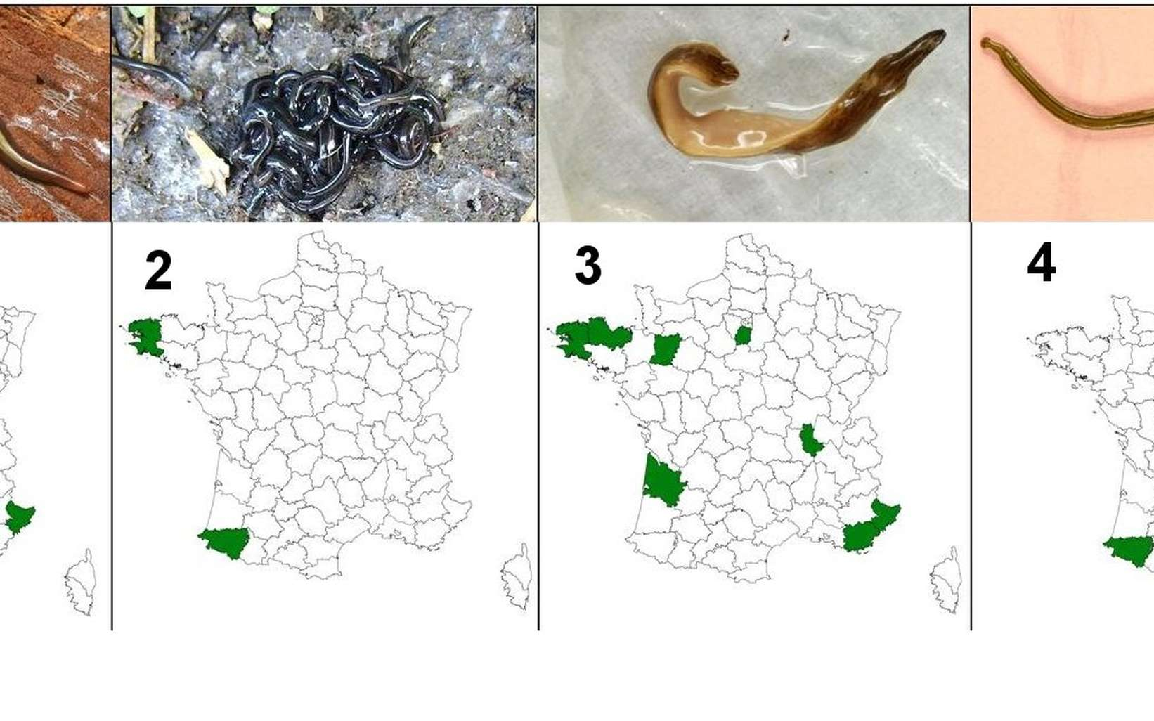 A képen: a földigiliszta gyilkos platyhelminthes - Bolygó -
