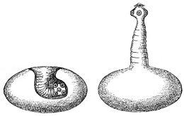 a galandférgek teste áll