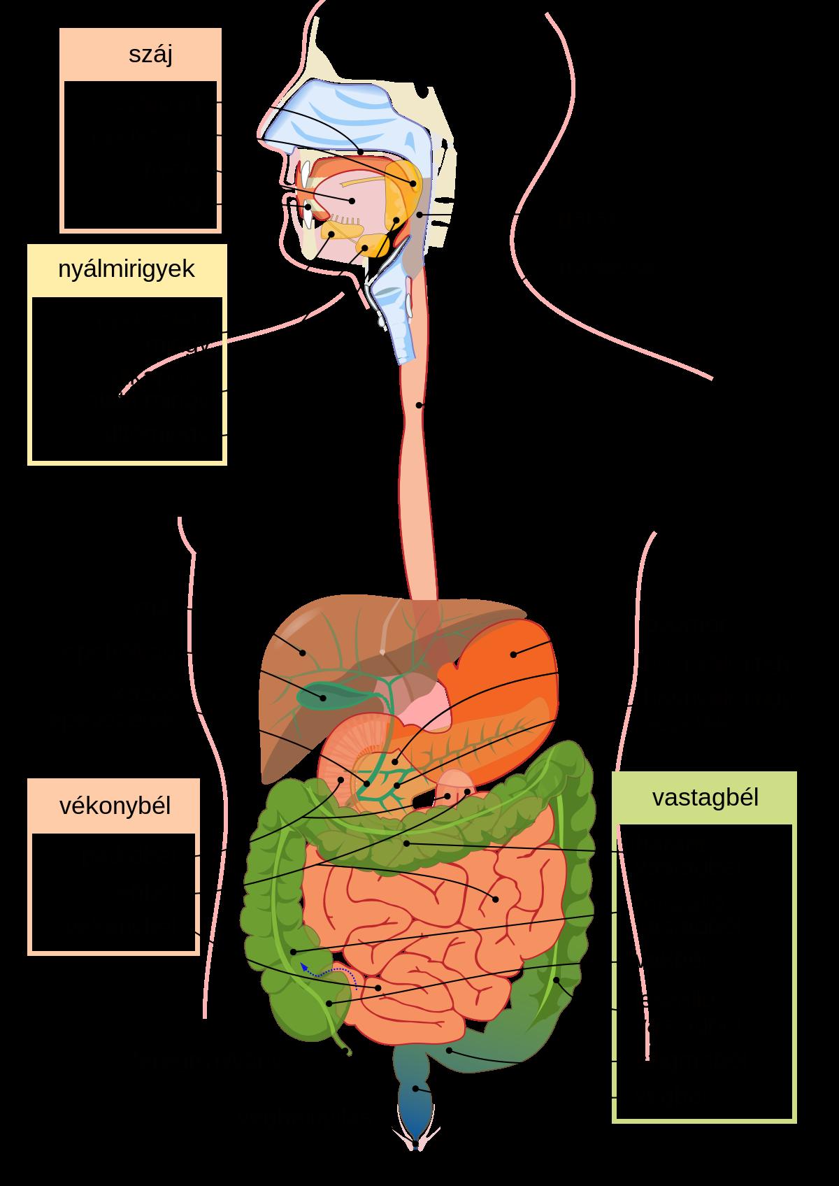 gyógyszerek az emésztőrendszerben élő paraziták számára rossz szag van a szájból, ha eszik