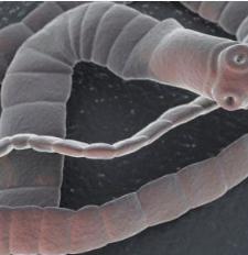 paraziták szalagkezelés hering féreg orvoslás