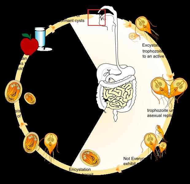 giardia life cycle diagram széklet az enterobiasisért egy gyermeken