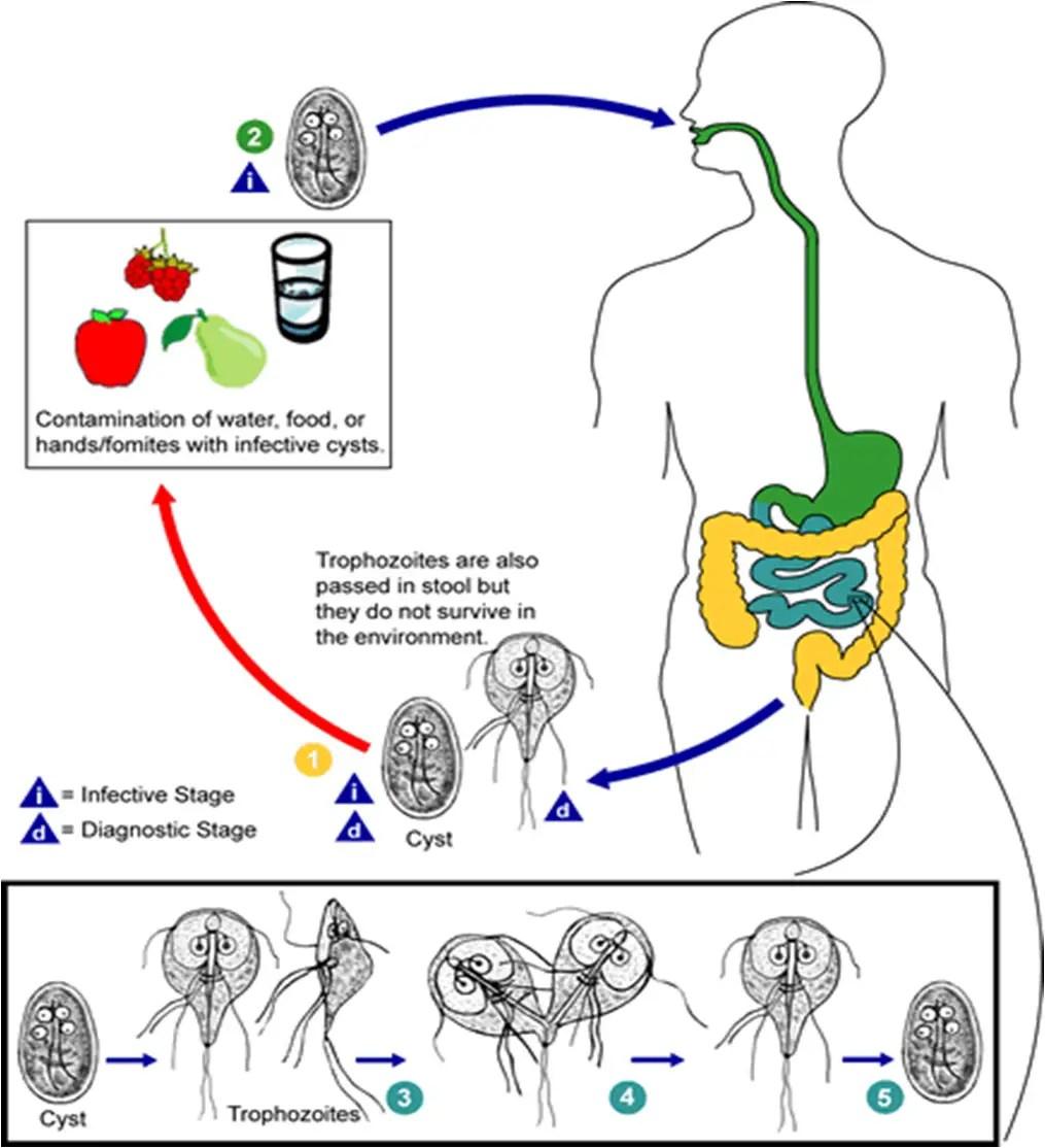 giardia life cycle diagram parazita gyógyszer emberek számára