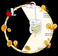 giardia life cycle diagram a helminth betegség tünetei az emberekben