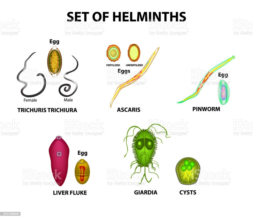 helminths flukes strongyloidosis kialakulása