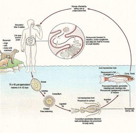 enterobiosis leírás