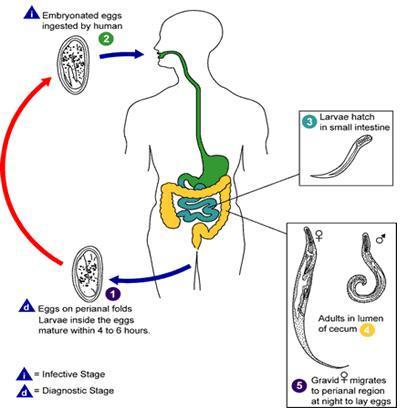 reproduksi nemathelminthes a legerősebb parazitaellenes szer