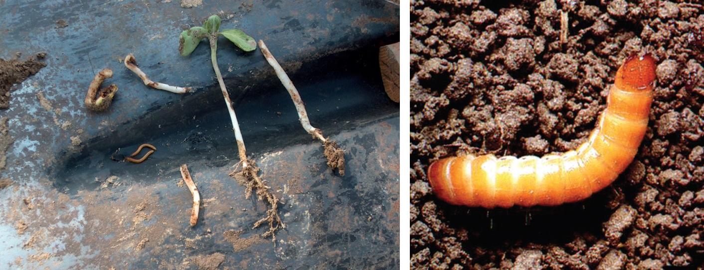 enterobiosis smd parazitak eltavolitasara szolgalo keszitmenyek az emberi testbol