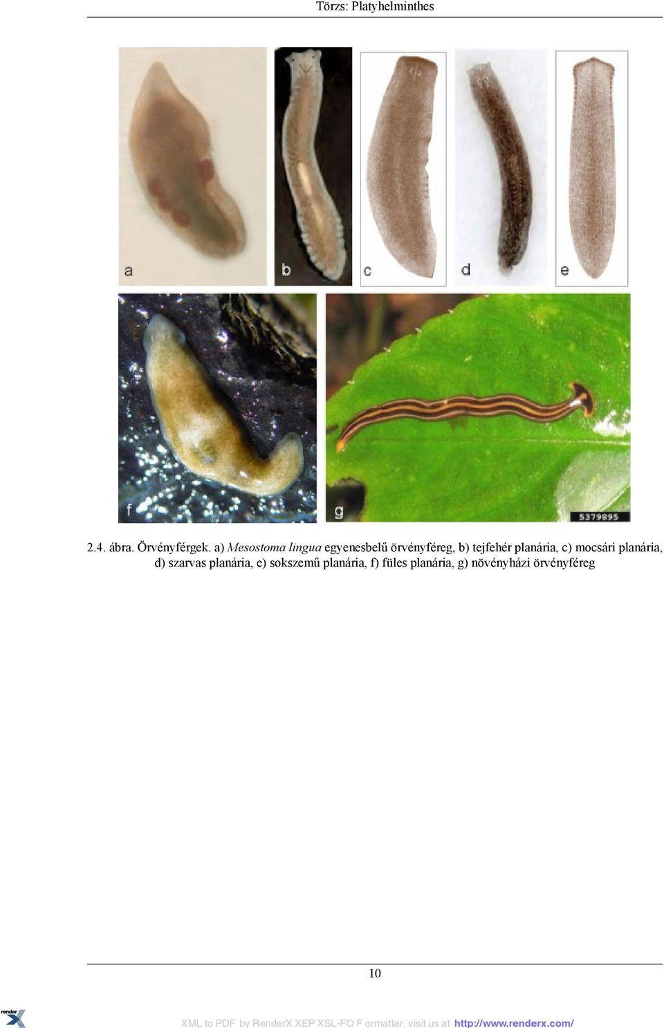 a fonálférgek kevésbé fejlett, mint a platyhelminthes parazitá fekete bőrs