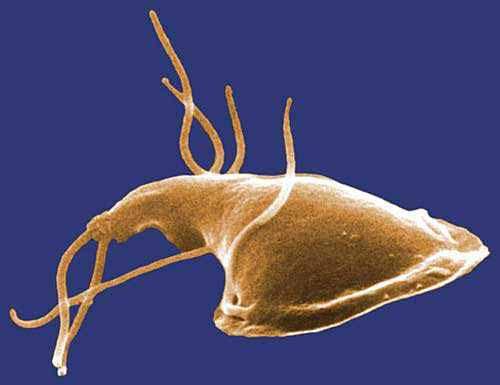 giardien mensch behandeln Platyhelminthes módszer a gázcserére