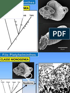 Filum platyhelminthes doc, Siklus hidup helminthosporium turcicum