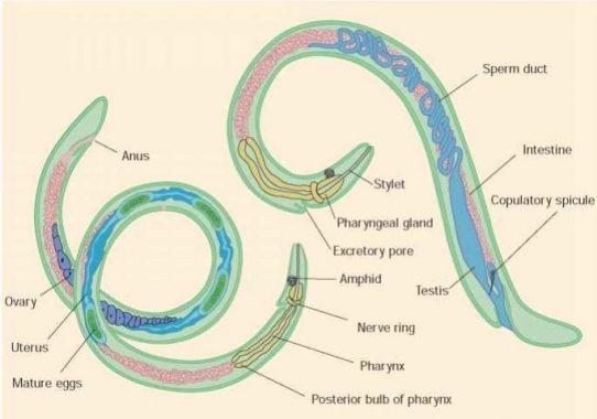 contoh penyakit nemathelminthes trichocephalosis invazív stádium