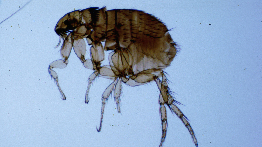 Parazita gombák táplálása - Paraziták jelenléte a szervezetben